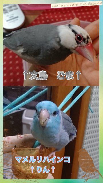 文鳥のごまとマメルリハインコのりん🐤